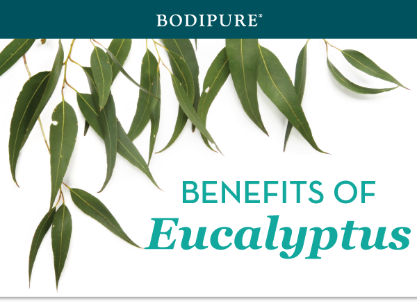 eucalyptus-blog-1